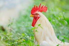 Άσπρα κοτόπουλα κοκκόρων πορτρέτου στο χορτοτάπητα στο αγρόκτημα Στοκ Φωτογραφία