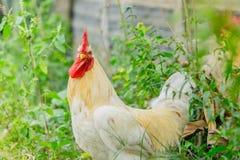 Άσπρα κοτόπουλα κοκκόρων πορτρέτου στο χορτοτάπητα στο αγρόκτημα Στοκ Εικόνες