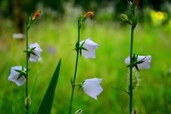 Άσπρα κουδούνια λουλουδιών Στοκ φωτογραφίες με δικαίωμα ελεύθερης χρήσης