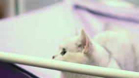 Άσπρα κυνήγια γατακιών για το παιχνίδι απόθεμα βίντεο