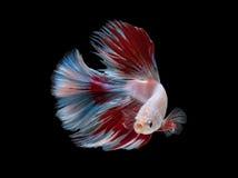Άσπρα κόκκινα ψάρια πάλης στο μαύρο υπόβαθρο με το ψαλίδισμα της πορείας Στοκ Εικόνα