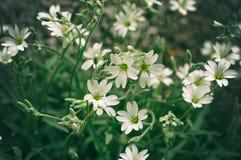 Άσπρα λεπτά λουλούδια stellaria στοκ εικόνες