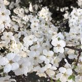 άσπρα λουλούδια ανθών στο δέντρο της άνοιξη στοκ φωτογραφία με δικαίωμα ελεύθερης χρήσης