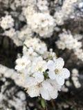άσπρα λουλούδια ανθών στο δέντρο της άνοιξη στοκ φωτογραφίες