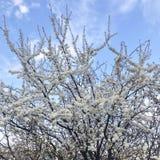 άσπρα λουλούδια ανθών στο δέντρο της άνοιξη στοκ φωτογραφίες με δικαίωμα ελεύθερης χρήσης