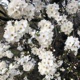 άσπρα λουλούδια ανθών στο δέντρο της άνοιξη στοκ εικόνες με δικαίωμα ελεύθερης χρήσης