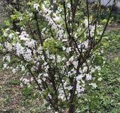 άσπρα λουλούδια ανθών στο δέντρο της άνοιξη στοκ φωτογραφία