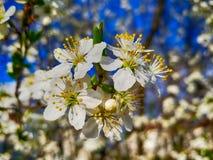 Άσπρα λουλούδια ανθών της Apple και υπόβαθρο άνοιξη μπλε ουρανού στοκ φωτογραφία με δικαίωμα ελεύθερης χρήσης