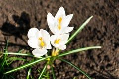 Άσπρα λουλούδια ανοίξεων κρόκων στοκ φωτογραφία