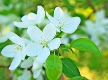 Άσπρα λουλούδια δέντρων της Apple και πράσινα φύλλα Στοκ Εικόνες