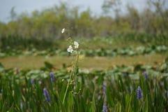 Άσπρα λουλούδια ελών στο έλος Στοκ εικόνες με δικαίωμα ελεύθερης χρήσης