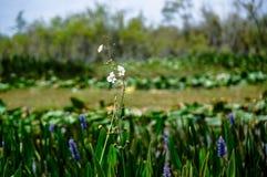 Άσπρα λουλούδια ελών στο έλος Στοκ Εικόνες
