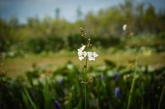 Άσπρα λουλούδια ελών στο έλος Στοκ Εικόνα