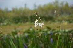 Άσπρα λουλούδια ελών στο έλος Στοκ Φωτογραφίες