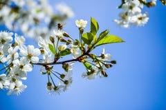 Άσπρα λουλούδια ενός ανθίζοντας κερασιού μια ημέρα άνοιξη ενάντια σε έναν μπλε ουρανό Μια μέλισσα επάνω από το λουλούδι Στοκ Φωτογραφία
