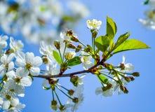 Άσπρα λουλούδια ενός ανθίζοντας κερασιού μια ημέρα άνοιξη ενάντια σε έναν μπλε ουρανό Μια μέλισσα επάνω από το λουλούδι Στοκ εικόνες με δικαίωμα ελεύθερης χρήσης
