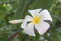 Άσπρα λουλούδια και φύλλο plumeria στη φύση Στοκ φωτογραφία με δικαίωμα ελεύθερης χρήσης