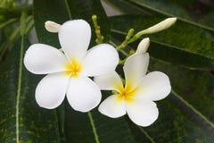 Άσπρα λουλούδια και φύλλο plumeria στη φύση Στοκ Εικόνες
