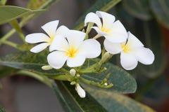 Άσπρα λουλούδια και φύλλο plumeria στο υπόβαθρο φύσης Στοκ Εικόνα
