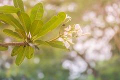 Άσπρα λουλούδια κινηματογραφήσεων σε πρώτο πλάνο και πράσινα φύλλα στον ήλιο και φύση bokeh στοκ εικόνα με δικαίωμα ελεύθερης χρήσης