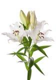 Άσπρα λουλούδια κρίνων στοκ φωτογραφία με δικαίωμα ελεύθερης χρήσης