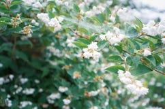 Άσπρα λουλούδια, μέλισσα μελιού, και Ιστός καμπιών στοκ φωτογραφίες