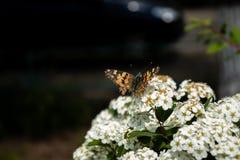 Άσπρα λουλούδια με την πεταλούδα στοκ φωτογραφία με δικαίωμα ελεύθερης χρήσης