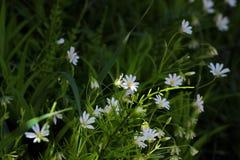 Άσπρα λουλούδια σε ένα σκοτεινό δάσος Στοκ εικόνες με δικαίωμα ελεύθερης χρήσης