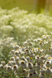 Άσπρα λουλούδια στην ηλιόλουστη ανασκόπηση Στοκ Φωτογραφία