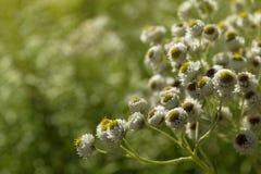 Άσπρα λουλούδια στην ηλιόλουστη ανασκόπηση Στοκ Φωτογραφίες
