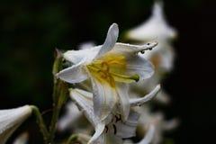Άσπρα λουλούδια στη βροχή Στοκ φωτογραφία με δικαίωμα ελεύθερης χρήσης