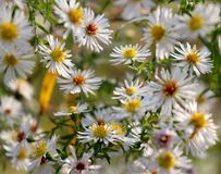 Άσπρα λουλούδια στη Γερμανία το φθινόπωρο στοκ εικόνα με δικαίωμα ελεύθερης χρήσης