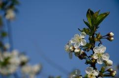 Άσπρα λουλούδια στη μακροεντολή Ανθίζοντας δέντρα Μέλισσα σε ένα άσπρο λουλούδι στοκ εικόνα με δικαίωμα ελεύθερης χρήσης