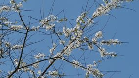 Άσπρα λουλούδια στους αιχμηρούς κλάδους φιλμ μικρού μήκους
