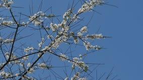 Άσπρα λουλούδια στους κλάδους ενός δέντρου