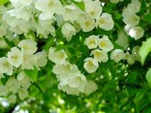 Άσπρα λουλούδια στους κλάδους του δέντρου της Apple Στοκ εικόνα με δικαίωμα ελεύθερης χρήσης