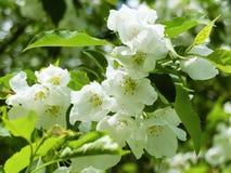 Άσπρα λουλούδια στους κλάδους του δέντρου της Apple Στοκ φωτογραφίες με δικαίωμα ελεύθερης χρήσης