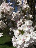 Άσπρα λουλούδια στους κλάδους του ιαπωνικού ανθίζοντας κερασιού στοκ εικόνα με δικαίωμα ελεύθερης χρήσης