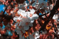 Άσπρα λουλούδια στο ρόδινο φως και διακοσμημένος με τον κλάδο δέντρων της Apple Στοκ Εικόνα
