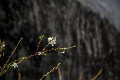 Άσπρα λουλούδια στο σκοτεινό υπόβαθρο τοίχων Μικρό ΠΙΑΣΙΜΟ στοκ φωτογραφίες με δικαίωμα ελεύθερης χρήσης