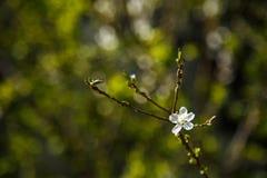 Άσπρα λουλούδια στο σκοτεινό υπόβαθρο τοίχων Μικρό ΠΙΑΣΙΜΟ στοκ εικόνα