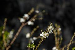 Άσπρα λουλούδια στο σκοτεινό υπόβαθρο τοίχων Μικρό ΠΙΑΣΙΜΟ στοκ εικόνες