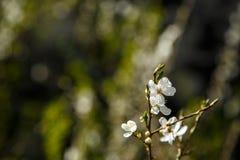 Άσπρα λουλούδια στο σκοτεινό υπόβαθρο τοίχων Μικρό ΠΙΑΣΙΜΟ στοκ φωτογραφίες