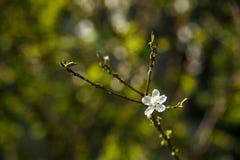 Άσπρα λουλούδια στο σκοτεινό υπόβαθρο τοίχων Μικρό ΠΙΑΣΙΜΟ στοκ φωτογραφία με δικαίωμα ελεύθερης χρήσης