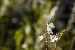 Άσπρα λουλούδια στο σκοτεινό υπόβαθρο τοίχων Μικρό ΠΙΑΣΙΜΟ στοκ εικόνα με δικαίωμα ελεύθερης χρήσης