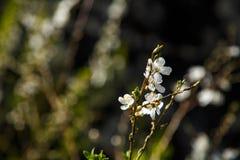 Άσπρα λουλούδια στο σκοτεινό υπόβαθρο τοίχων Μικρό ΠΙΑΣΙΜΟ στοκ φωτογραφία