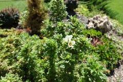 Άσπρα λουλούδια στο φύλλωμα του fruticosa Dasiphora στοκ φωτογραφίες με δικαίωμα ελεύθερης χρήσης