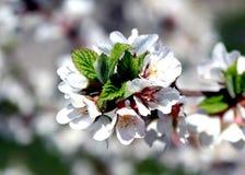 Άσπρα λουλούδια του δέντρου μηλιάς την άνοιξη Στοκ Εικόνα