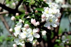 Άσπρα λουλούδια του δέντρου μηλιάς την άνοιξη Στοκ εικόνες με δικαίωμα ελεύθερης χρήσης