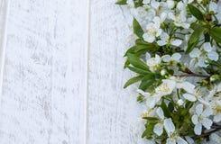 Άσπρα λουλούδια του κερασιού στους λευκούς, ξύλινους πίνακες, κλάδοι του ανθίζοντας κερασιού E στοκ φωτογραφίες